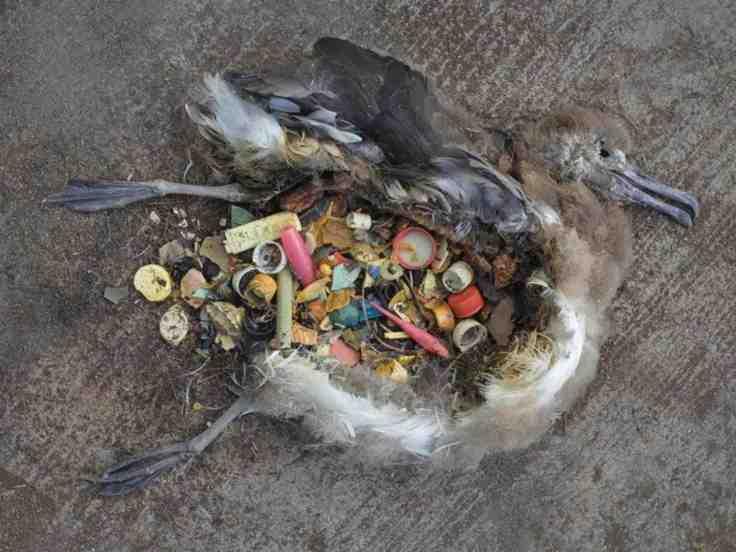 albatross plastic .jpg