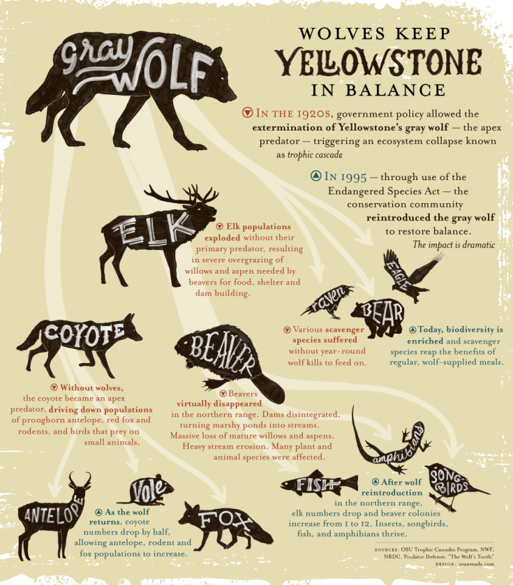 yellowstone wolves .png